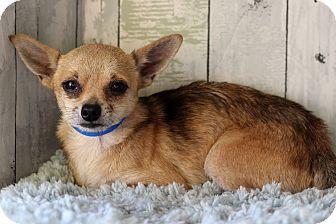 Chihuahua Mix Dog for adoption in Waldorf, Maryland - Buddy