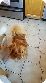 Pomeranian Mix Dog for adoption in staten Island, New York - Bruce