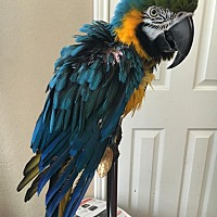 Adopt A Pet :: Rowdy - Burleson, TX