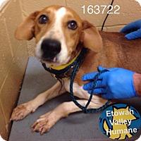 Adopt A Pet :: Shilo - Boston, MA