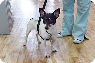 Rat Terrier Mix Dog for adoption in Jersey City, New Jersey - Evan Rachel Wood