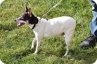 Rat Terrier Mix Dog for adoption in North Judson, Indiana - Edith