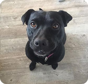 Labrador Retriever/Terrier (Unknown Type, Medium) Mix Dog for adoption in Summerville, South Carolina - Lexi