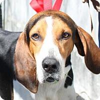 Hound (Unknown Type) Mix Dog for adoption in Salem, Massachusetts - Beau