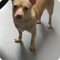 Adopt A Pet :: Lucas - Cliffside Park, NJ