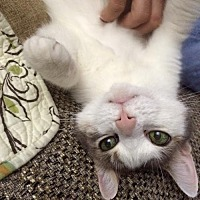 Adopt A Pet :: Mellow and sweet Loveme! - Brooklyn, NY