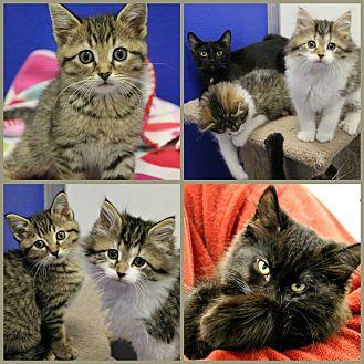 Domestic Shorthair Kitten for adoption in Dunkirk, New York - Kittens!
