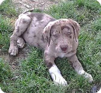Labrador Retriever/Catahoula Leopard Dog Mix Puppy for adoption in Somers, Connecticut - Spur: DONE TAKING APPLICATIONS