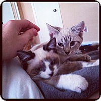 Adopt A Pet :: Sophie & Baxter - Arlington, VA