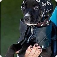 Adopt A Pet :: Hendrix - Mission Viejo, CA