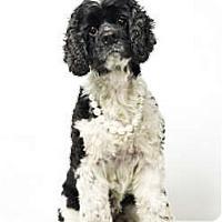 Adopt A Pet :: Pebbles - New York, NY