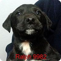 Adopt A Pet :: Ralph - Greencastle, NC