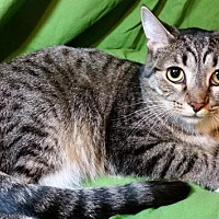 Domestic Shorthair Cat for adoption in Sarasota, Florida - Sweetie
