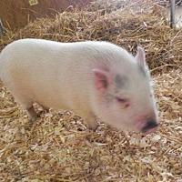 Adopt A Pet :: Pringle - Woodstock, IL