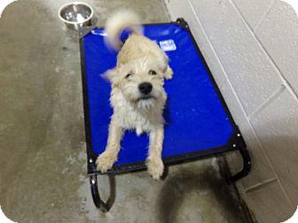 Terrier (Unknown Type, Medium) Mix Dog for adoption in Osceola, Arkansas - BOBBY