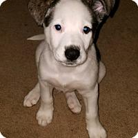 Adopt A Pet :: **BOOMER** - Mukwonago, WI