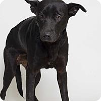 Adopt A Pet :: Zorro  (Foster Care) - Baton Rouge, LA