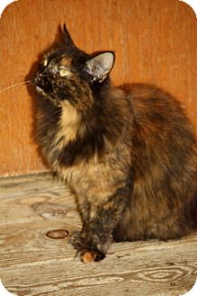 Domestic Mediumhair Cat for adoption in Dover, Ohio - Miss Missy