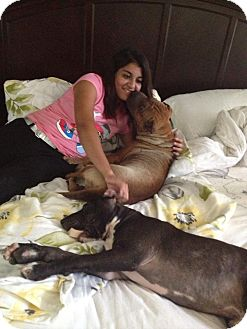Shar Pei Dog for adoption in Mira Loma, California - Bliss in Texas