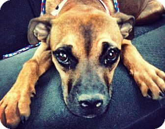 Boxer/Staffordshire Bull Terrier Mix Dog for adoption in Las Vegas, Nevada - Ella