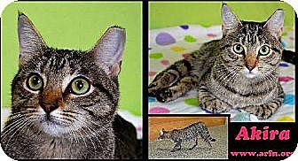 American Shorthair Cat for adoption in Brooksville, Florida - Akira
