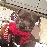 Adopt A Pet :: Blue Velvet - Austin, TX