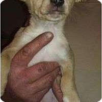 Adopt A Pet :: Belle Starr - pearl pup - Phoenix, AZ