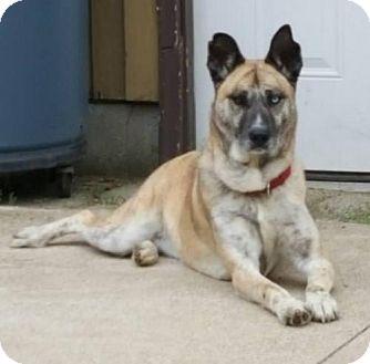 Akita/Shepherd (Unknown Type) Mix Dog for adoption in Bowie, Maryland - Sierra - Adoption Pending -Congrats Lauren & Scott