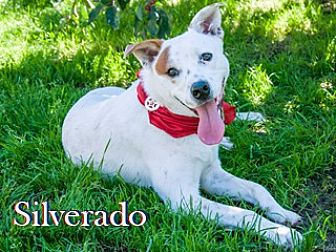 Australian Shepherd/Terrier (Unknown Type, Medium) Mix Dog for adoption in Hamilton, Montana - Silverado