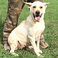 Labrador Retriever/Shepherd (Unknown Type) Mix Dog for adoption in Slidell, Louisiana - Zoey