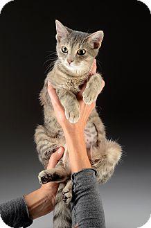 Domestic Shorthair Cat for adoption in Cincinnati, Ohio - Kanga