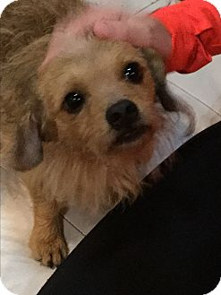 Cairn Terrier/Tibetan Spaniel Mix Dog for adoption in Oakland, Florida - Woody