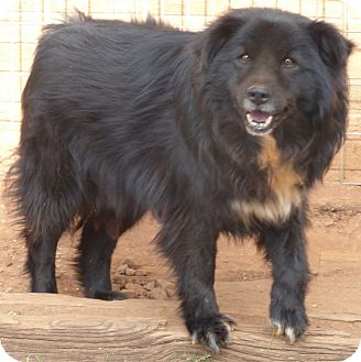 Border Collie/Chow Chow Mix Dog for adoption in Anderson, South Carolina - Bear