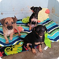 Adopt A Pet :: Puppies! - El Cajon, CA