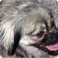 Adopt A Pet :: Benjie-PA - Emmaus, PA