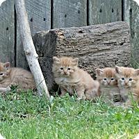 Adopt A Pet :: The Oranges - Florence, KY