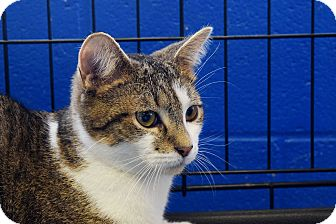 Domestic Shorthair Kitten for adoption in Flushing, Michigan - Paul