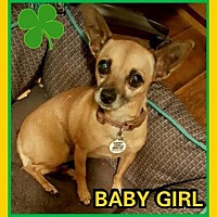 Chihuahua Mix Dog for adoption in Scottsdale, Arizona - Baby Girl