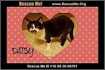 Domestic Shorthair Cat for adoption in Highland, Michigan - Daisy