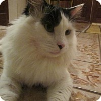 Maine Coon Cat for adoption in Valley Center, California - Shakari
