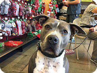 Pit Bull Terrier Mix Dog for adoption in Pleasanton, California - Gump - adoption pending