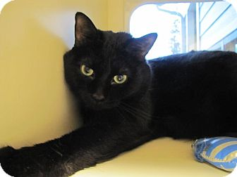 Domestic Shorthair Cat for adoption in Morristown, New Jersey - Perry