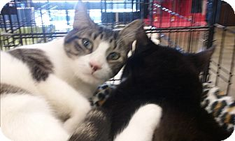 Domestic Shorthair Cat for adoption in West Palm Beach, Florida - Biscotti