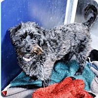 Adopt A Pet :: Terripoo male (Young) - San Jacinto, CA
