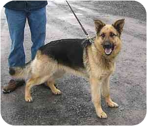 German Shepherd Dog Dog for adoption in Tully, New York - daphanie