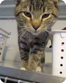 Domestic Shorthair Cat for adoption in Geneseo, Illinois - Booger