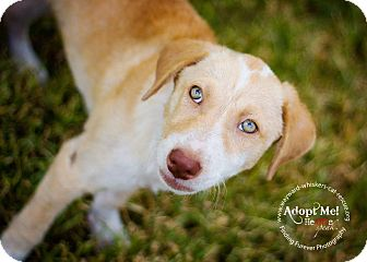 Labrador Retriever/Cattle Dog Mix Puppy for adoption in San Antonio, Texas - Noodles
