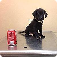 Adopt A Pet :: Apollo - Brooklyn, NY