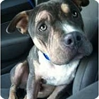 Adopt A Pet :: Gage - FOSTER NEEDED - Seattle, WA