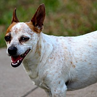 Chihuahua Mix Dog for adoption in Kempner, Texas - Levi